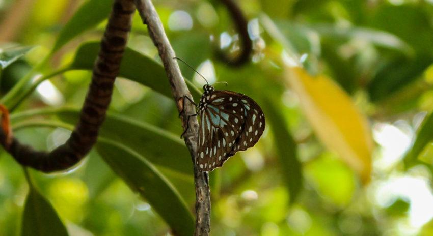 Schmetterlinge in Cape Hillsborough