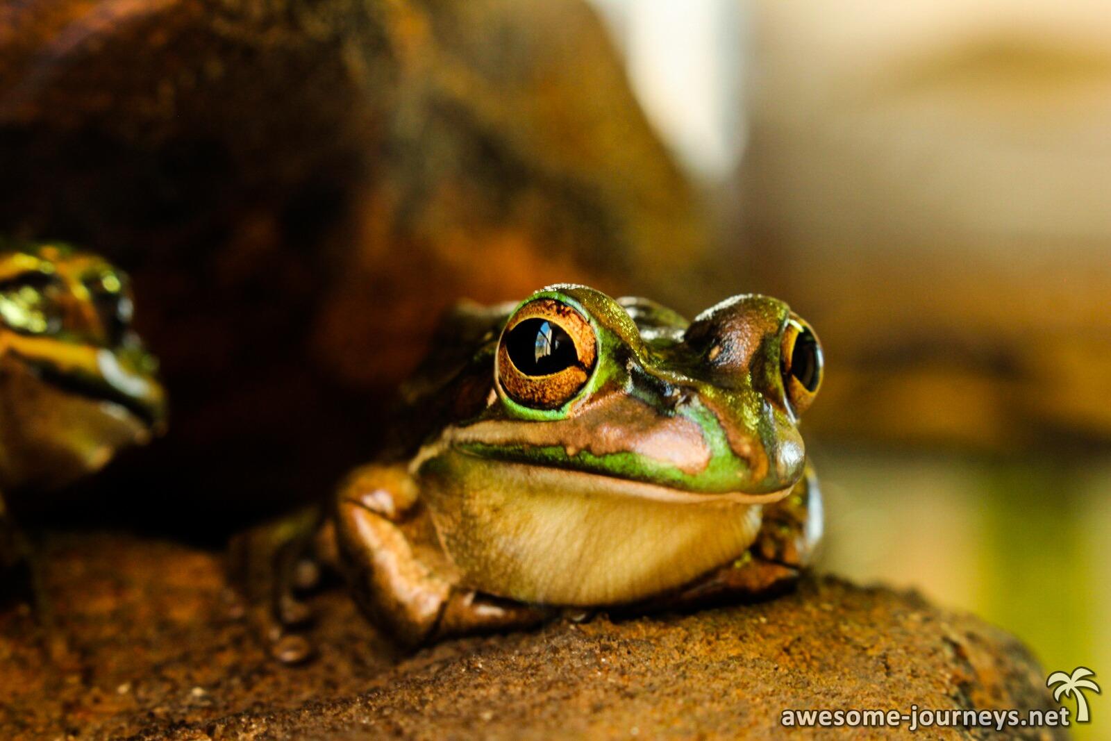 australien_canberra_frosch