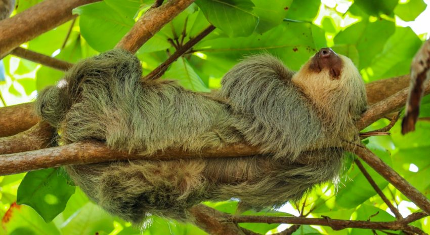 Affen Und Faultiere Im Manuel Antonio National Park Costa Rica