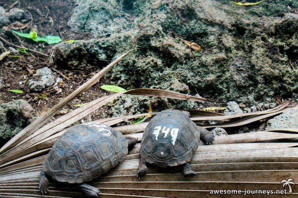 Baby-Riesenschildkröten
