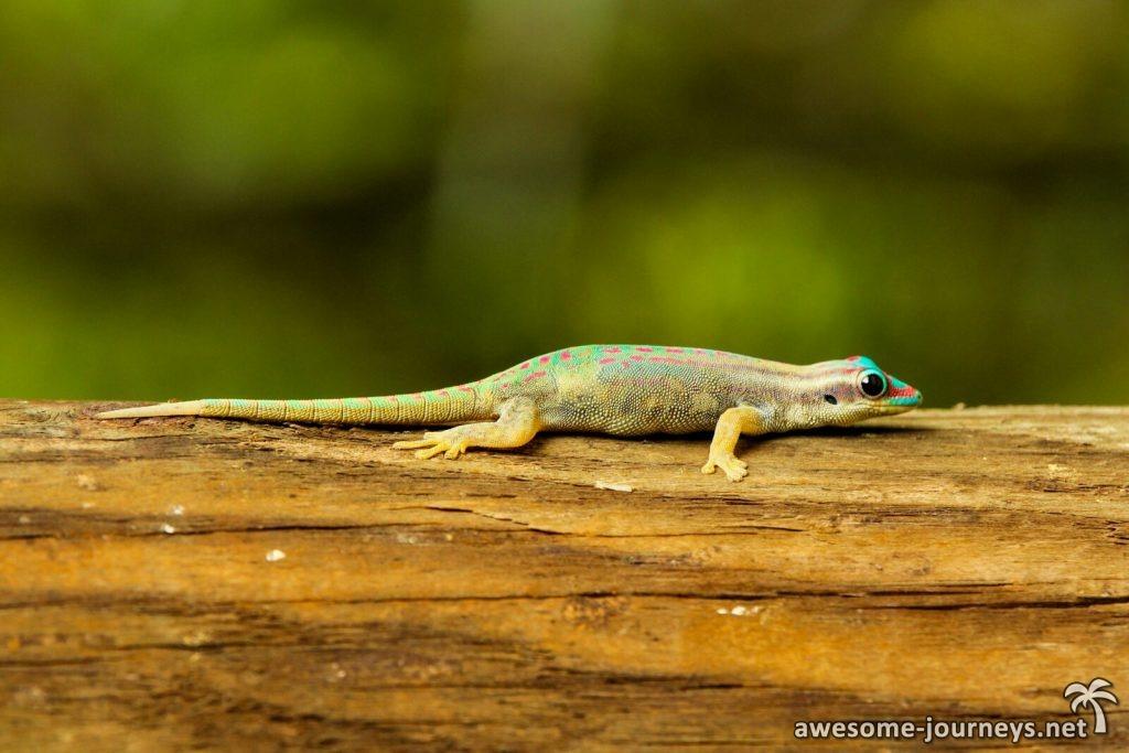 mauritius_ile-aux-aigrettes_gecko_4