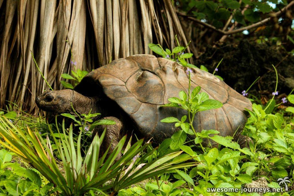 Unterwegs trifft man immer wieder auf Riesenschildkröten