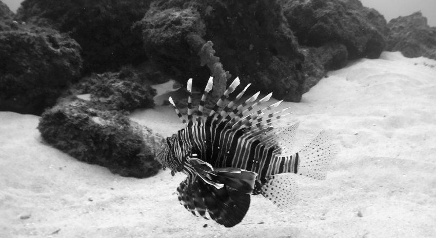 mauritius_scuba-diving_lionfish_2