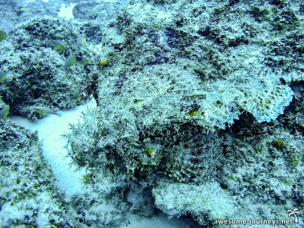 Wer entdeckt den Skorpionfisch?