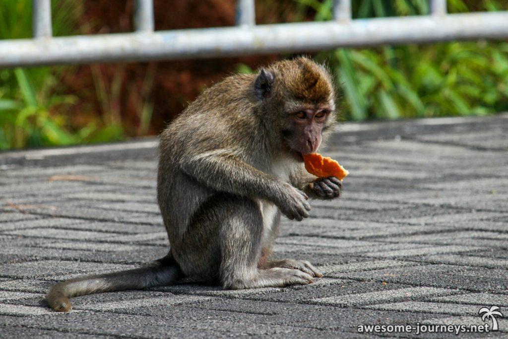Makaken warten bei der Zufahrtsstraße auf Essbares