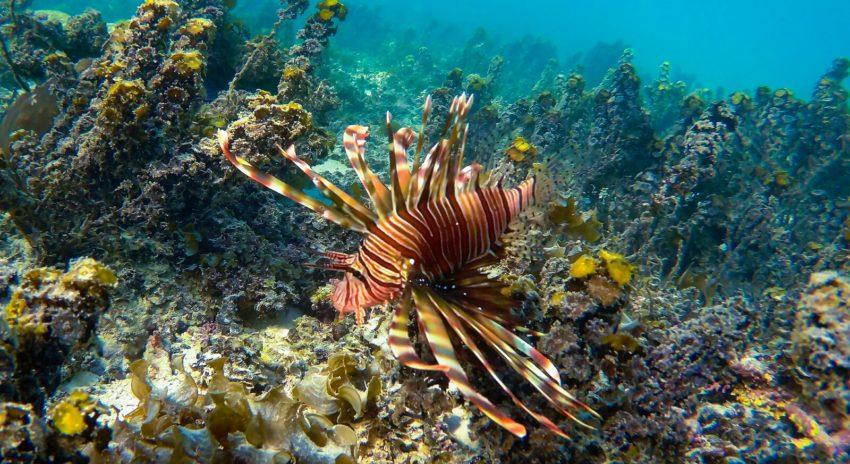 mauritius_trou-aux-biches_lionfish_2
