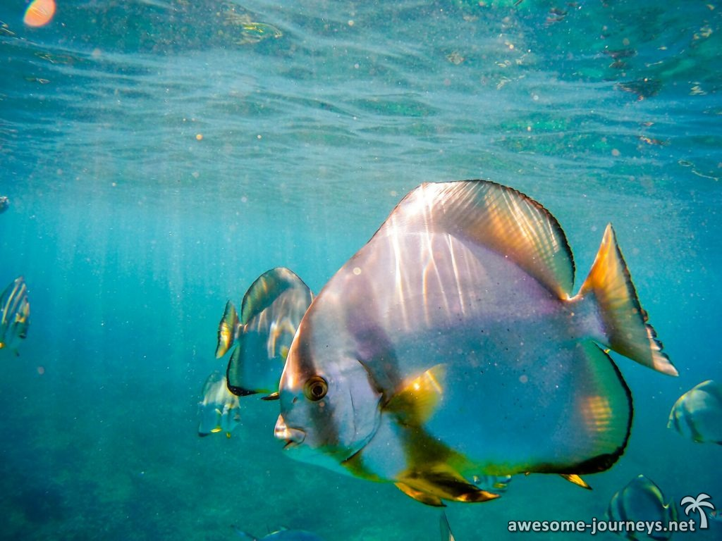 seychelles_belle-petra_snorkeling-batfish_1