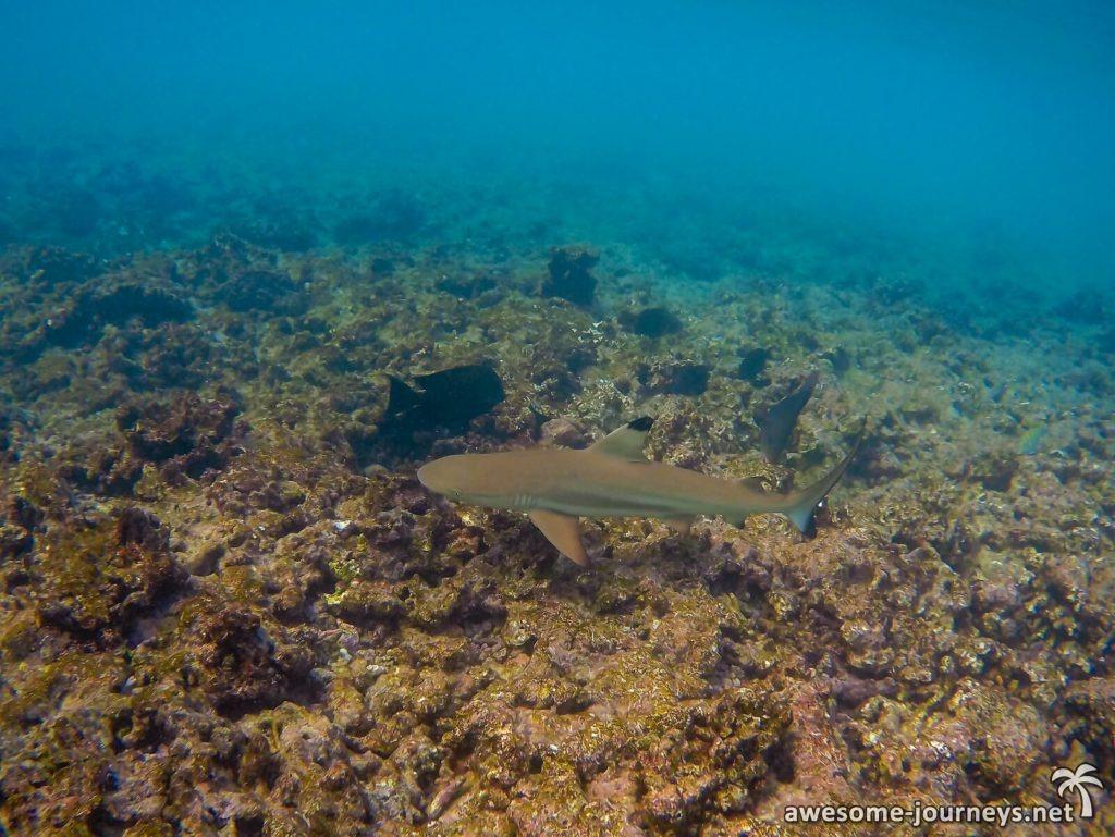 Kleiner Schwarzspitzenriffhai