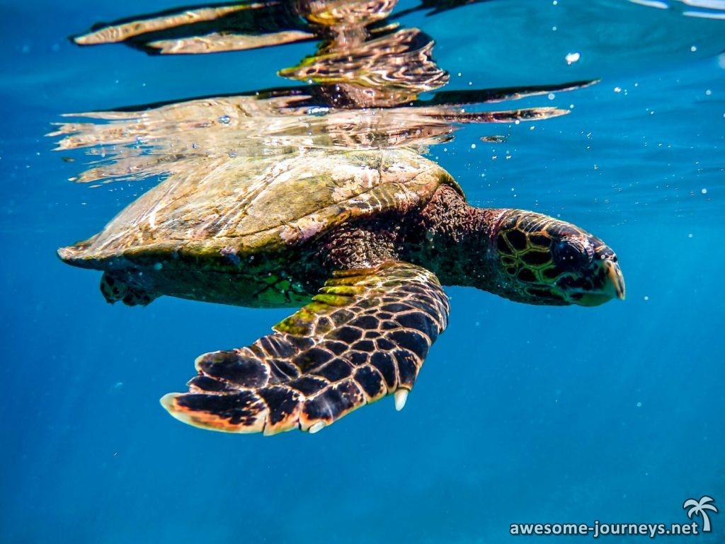 seychelles_belle-petra_snorkeling-turtle_3