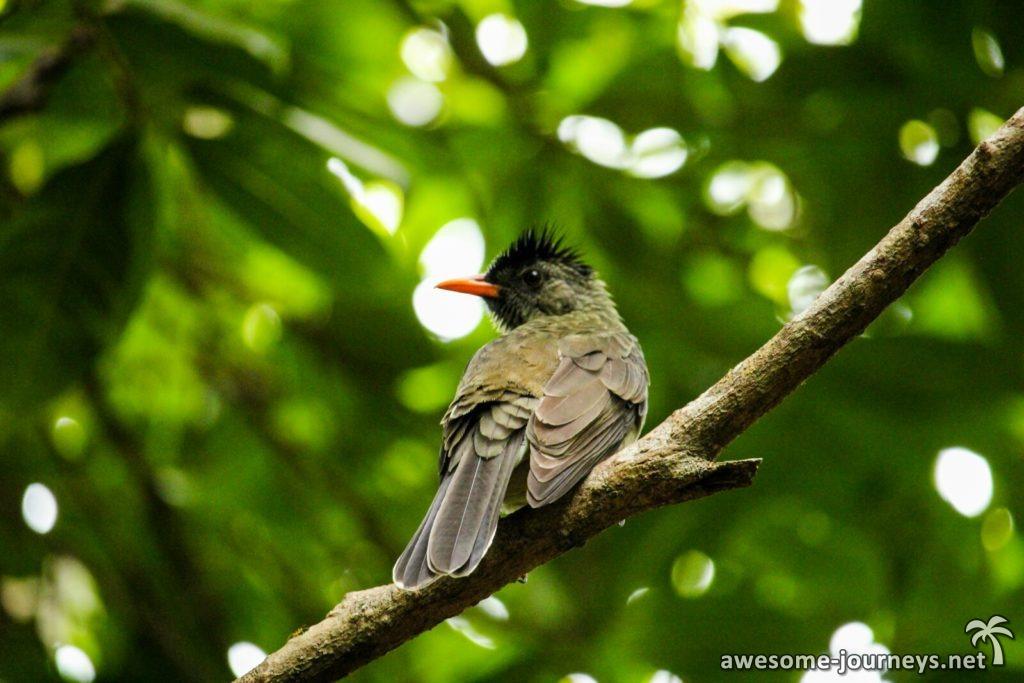seychelles_fond-ferdinand_bird