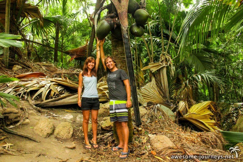 Seychellenpalme