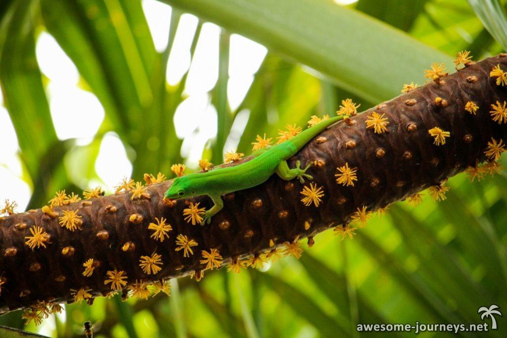 seychelles_fond-ferdinand_gecko