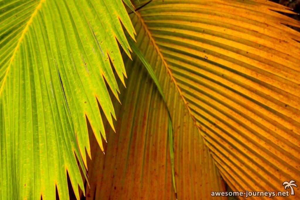 seychelles_fond-ferdinand_palmleave
