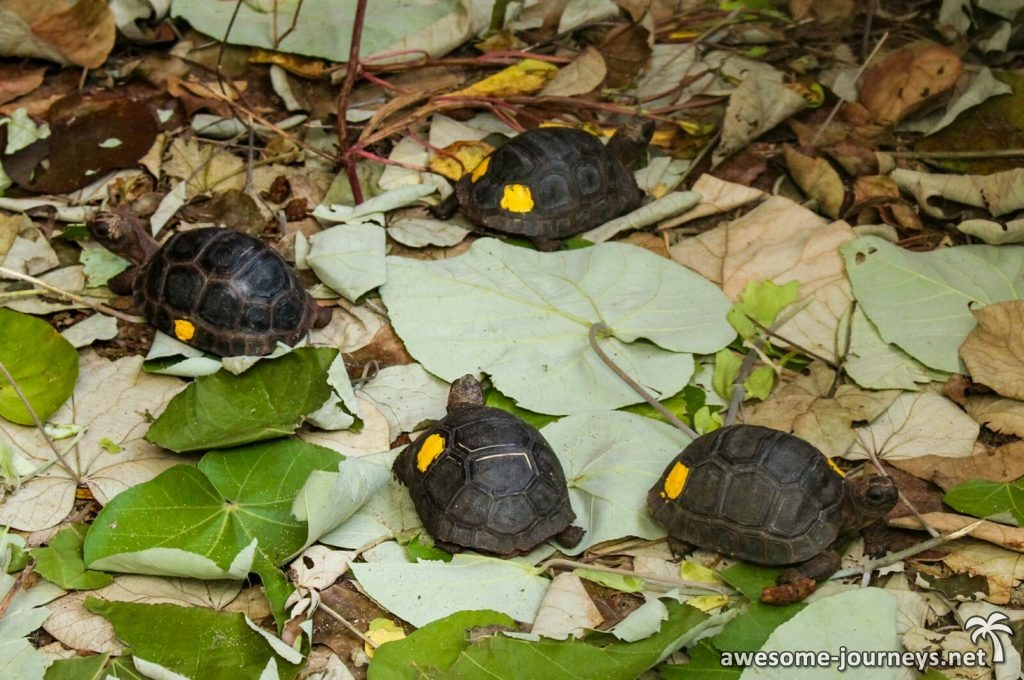 Baby Riesenschildkröten