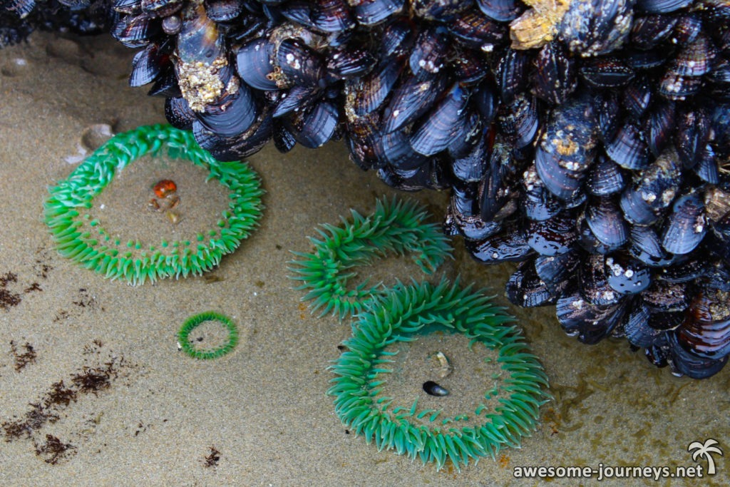 usa_cosbay_strawberry-hill-seeanemonen