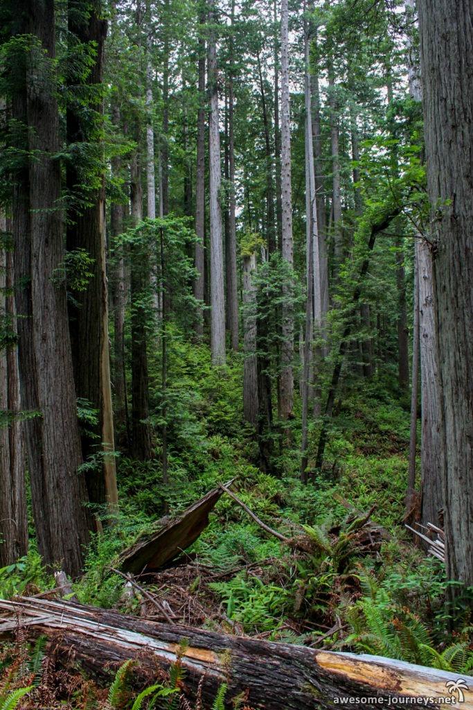 Mammutbäume im Redwood National Park