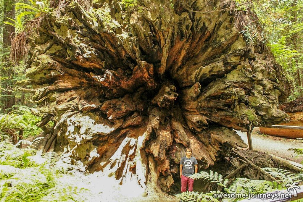 usa_ukiah_fallen-giant-tree-3
